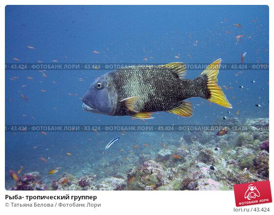 Рыба- тропический группер, эксклюзивное фото № 43424, снято 26 ноября 2006 г. (c) Татьяна Белова / Фотобанк Лори
