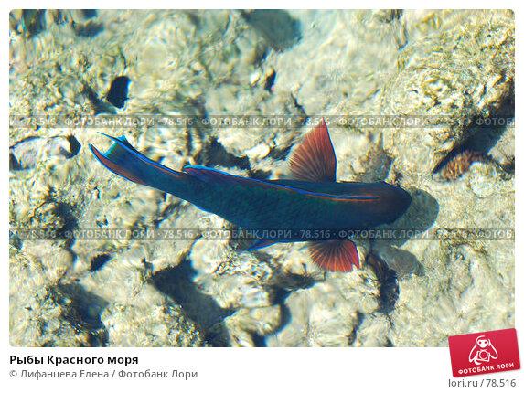 Рыбы Красного моря, фото № 78516, снято 21 августа 2007 г. (c) Лифанцева Елена / Фотобанк Лори