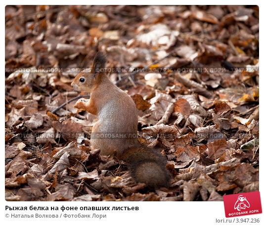 Купить «Рыжая белка на фоне опавших листьев», фото № 3947236, снято 20 октября 2012 г. (c) Наталья Волкова / Фотобанк Лори
