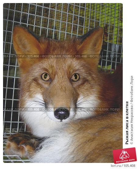 Рыжая лиса в клетке, фото № 105408, снято 7 октября 2005 г. (c) Анастасия Некрасова / Фотобанк Лори