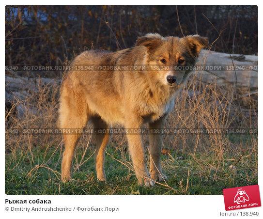 Рыжая собака, фото № 138940, снято 29 ноября 2007 г. (c) Dmitriy Andrushchenko / Фотобанк Лори