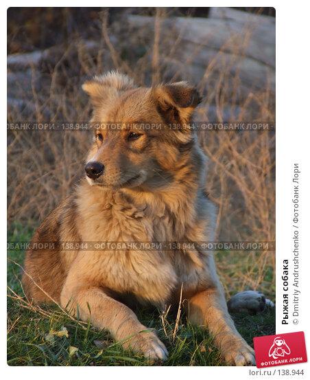 Рыжая собака, фото № 138944, снято 29 ноября 2007 г. (c) Dmitriy Andrushchenko / Фотобанк Лори
