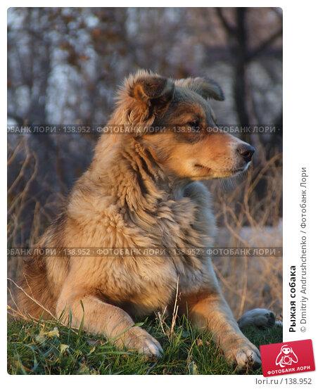 Рыжая собака, фото № 138952, снято 29 ноября 2007 г. (c) Dmitriy Andrushchenko / Фотобанк Лори