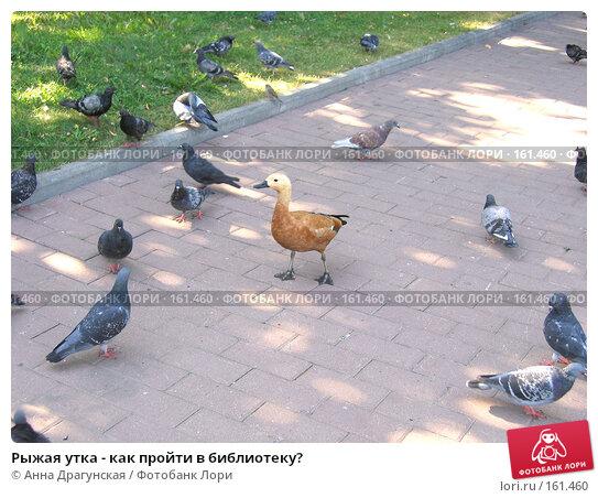 Рыжая утка - как пройти в библиотеку?, фото № 161460, снято 25 августа 2005 г. (c) Анна Драгунская / Фотобанк Лори
