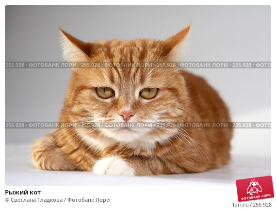Рыжий кот, фото № 255928, снято 17 февраля 2008 г. (c) Cветлана Гладкова / Фотобанк Лори