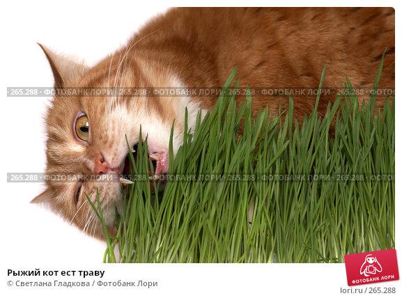 Рыжий кот ест траву, фото № 265288, снято 20 апреля 2008 г. (c) Cветлана Гладкова / Фотобанк Лори