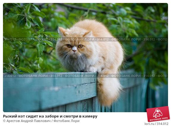 Рыжий кот сидит на заборе и смотри в камеру, фото № 314012, снято 3 мая 2008 г. (c) Арестов Андрей Павлович / Фотобанк Лори