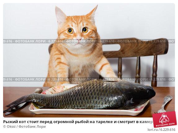 Купить «Рыжий кот стоит перед огромной рыбой на тарелке и смотрит в камеру», фото № 6229616, снято 15 июня 2014 г. (c) Okssi / Фотобанк Лори