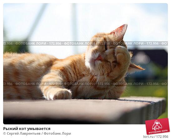 Рыжий кот умывается, фото № 172956, снято 2 января 2005 г. (c) Сергей Лаврентьев / Фотобанк Лори