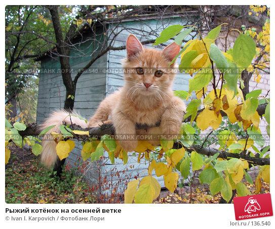 Рыжий котёнок на осенней ветке, фото № 136540, снято 1 октября 2006 г. (c) Ivan I. Karpovich / Фотобанк Лори