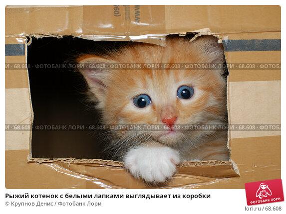 Рыжий котенок с белыми лапками выглядывает из коробки, фото № 68608, снято 3 июля 2007 г. (c) Крупнов Денис / Фотобанк Лори