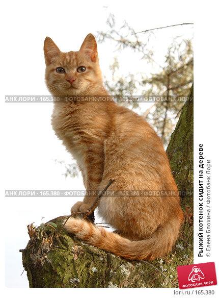Рыжий котенок сидит на дереве, фото № 165380, снято 21 октября 2007 г. (c) Елена Блохина / Фотобанк Лори