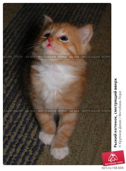 Рыжий котенок, смотрящий вверх, фото № 68604, снято 3 июля 2007 г. (c) Крупнов Денис / Фотобанк Лори