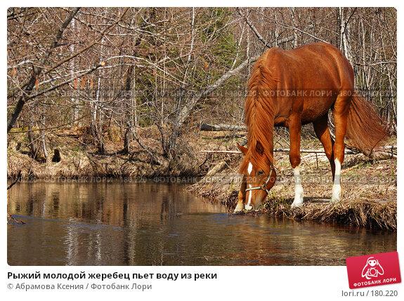 Рыжий молодой жеребец пьет воду из реки, фото № 180220, снято 29 апреля 2006 г. (c) Абрамова Ксения / Фотобанк Лори