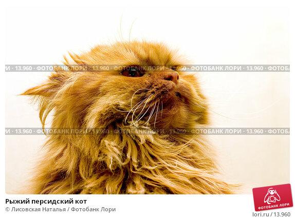 Рыжий персидский кот, фото № 13960, снято 12 февраля 2006 г. (c) Лисовская Наталья / Фотобанк Лори