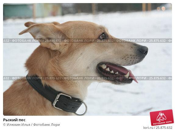 Купить «Рыжий пес», фото № 25875632, снято 29 марта 2020 г. (c) Илюхин Илья / Фотобанк Лори