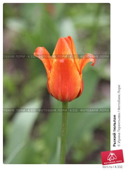 Купить «Рыжий тюльпан», эксклюзивное фото № 4332, снято 29 мая 2006 г. (c) Ирина Терентьева / Фотобанк Лори