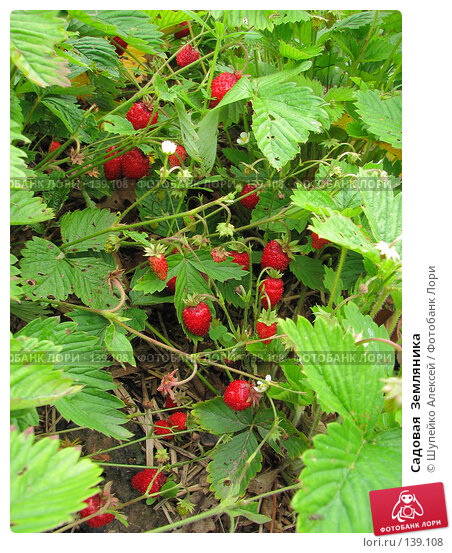Садовая  Земляника, фото № 139108, снято 17 июня 2007 г. (c) Шупейко Алексей / Фотобанк Лори