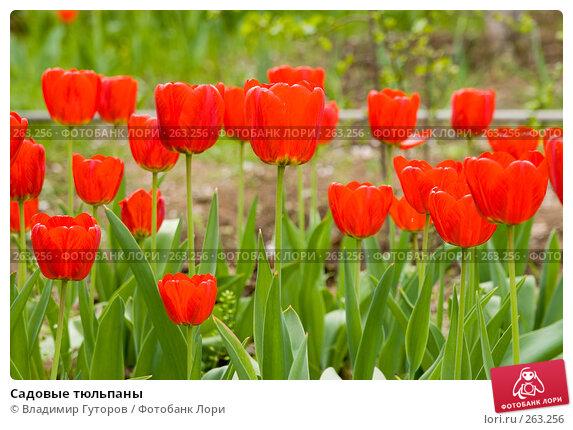 Садовые тюльпаны, фото № 263256, снято 26 апреля 2008 г. (c) Владимир Гуторов / Фотобанк Лори