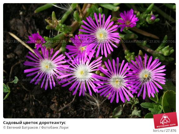 Садовый цветок доротеантус, фото № 27876, снято 5 августа 2006 г. (c) Евгений Батраков / Фотобанк Лори