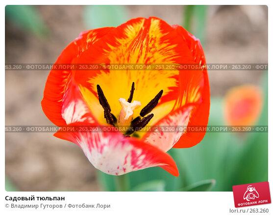 Садовый тюльпан, фото № 263260, снято 26 апреля 2008 г. (c) Владимир Гуторов / Фотобанк Лори