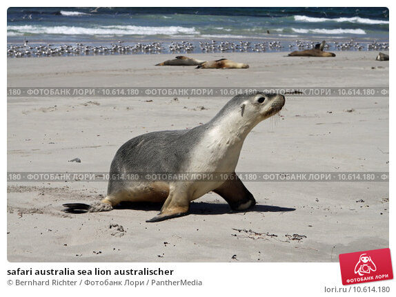 safari australia sea lion australischer. Стоковое фото, фотограф Bernhard Richter / PantherMedia / Фотобанк Лори