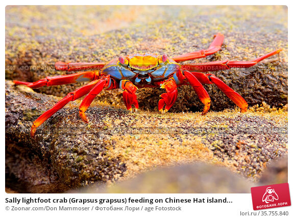 Sally lightfoot crab (Grapsus grapsus) feeding on Chinese Hat island... Стоковое фото, фотограф Zoonar.com/Don Mammoser / age Fotostock / Фотобанк Лори