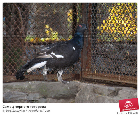 Самец черного тетерева, фото № 134488, снято 10 октября 2004 г. (c) Serg Zastavkin / Фотобанк Лори