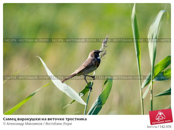 Купить «Самец варакушки на веточке тростника», фото № 142976, снято 8 июля 2006 г. (c) Александр Максимов / Фотобанк Лори