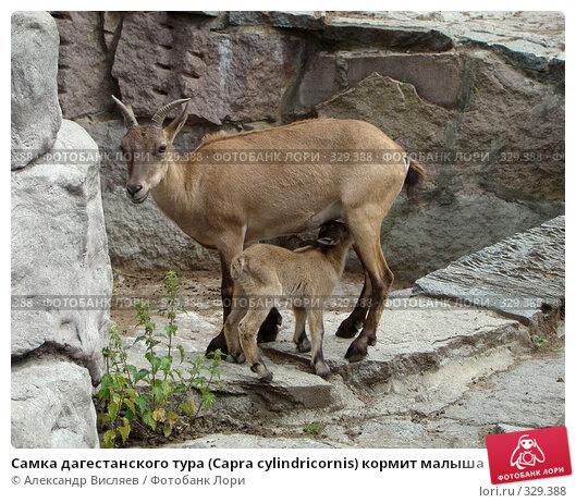 Самка дагестанского тура (Capra cylindricornis) кормит малыша, фото № 329388, снято 23 января 2017 г. (c) Александр Висляев / Фотобанк Лори