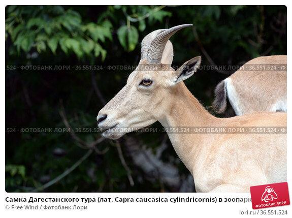 Самка Дагестанского тура (лат. Capra caucasica cylindricornis) в зоопарке. Редакционное фото, фотограф Free Wind / Фотобанк Лори