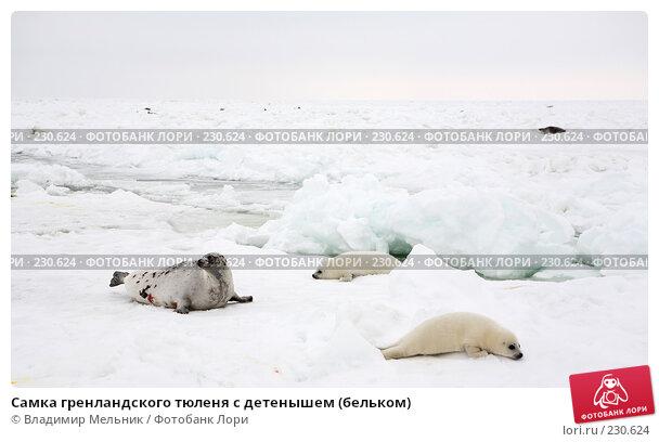 Самка гренландского тюленя с детенышем (бельком), фото № 230624, снято 11 марта 2008 г. (c) Владимир Мельник / Фотобанк Лори