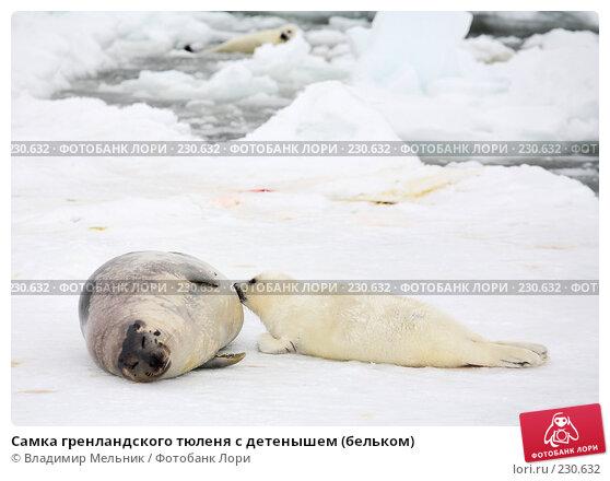 Самка гренландского тюленя с детенышем (бельком), фото № 230632, снято 11 марта 2008 г. (c) Владимир Мельник / Фотобанк Лори