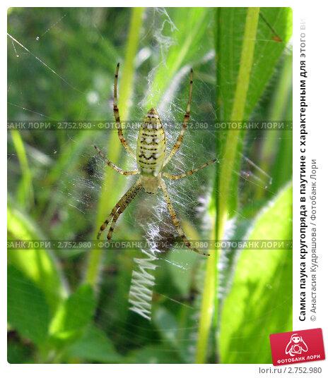 Самка паука кругопряда в паутине с характерным для этого вида зигзагом. Стоковое фото, фотограф Анастасия Кудряшова / Фотобанк Лори