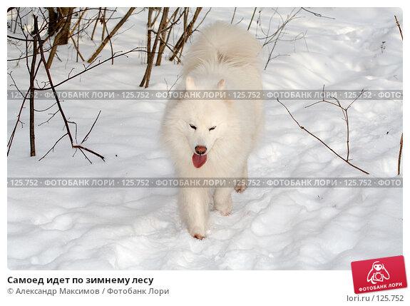 Самоед идет по зимнему лесу, фото № 125752, снято 27 января 2007 г. (c) Александр Максимов / Фотобанк Лори