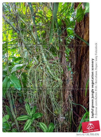 Sapful green jungle vegetation scenery. Стоковое фото, фотограф Zoonar.com/Achim Prill / easy Fotostock / Фотобанк Лори