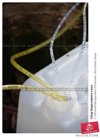 Сбор березового сока. Стоковое фото, фотограф Наталия Валерьевна Потапова / Фотобанк Лори