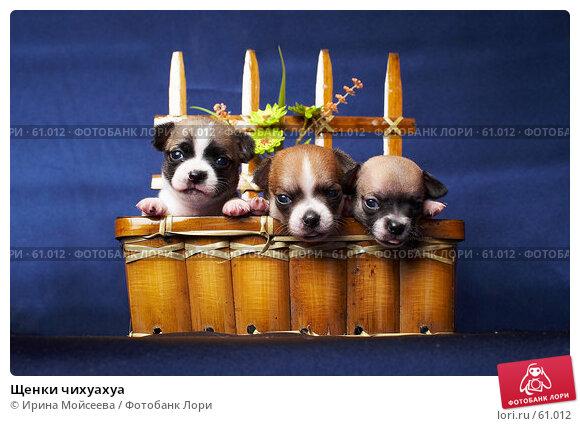 Купить «Щенки чихуахуа», фото № 61012, снято 6 декабря 2006 г. (c) Ирина Мойсеева / Фотобанк Лори