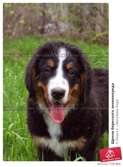 Щенок бернского зенненхунда, фото № 178964, снято 12 мая 2007 г. (c) Ольга С. / Фотобанк Лори