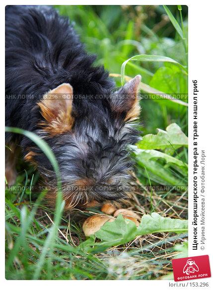 Купить «Щенок йоркширского терьера в траве нашел гриб», фото № 153296, снято 31 июля 2007 г. (c) Ирина Мойсеева / Фотобанк Лори