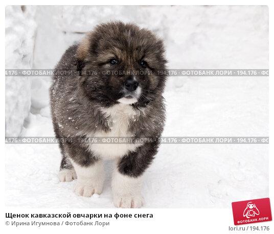 Щенок кавказской овчарки на фоне снега, фото № 194176, снято 2 февраля 2008 г. (c) Ирина Игумнова / Фотобанк Лори