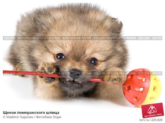 Щенок померанского шпица, фото № 225820, снято 6 августа 2007 г. (c) Vladimir Suponev / Фотобанк Лори