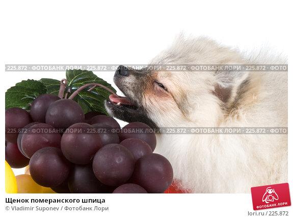 Щенок померанского шпица, фото № 225872, снято 17 ноября 2007 г. (c) Vladimir Suponev / Фотобанк Лори