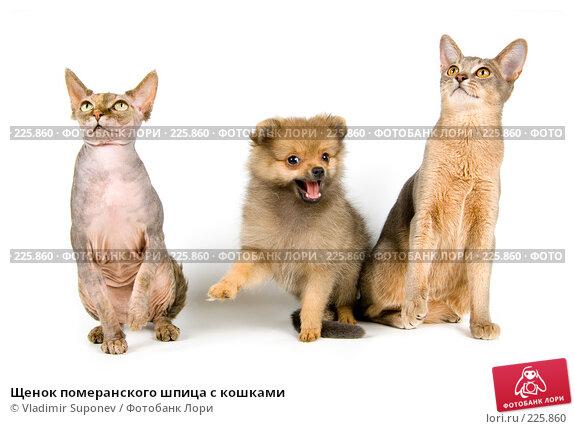 Щенок померанского шпица с кошками, фото № 225860, снято 25 августа 2007 г. (c) Vladimir Suponev / Фотобанк Лори