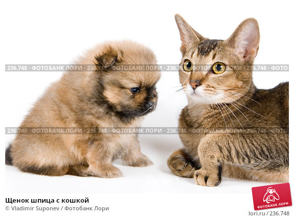 Купить «Щенок шпица с кошкой», фото № 236748, снято 9 марта 2008 г. (c) Vladimir Suponev / Фотобанк Лори