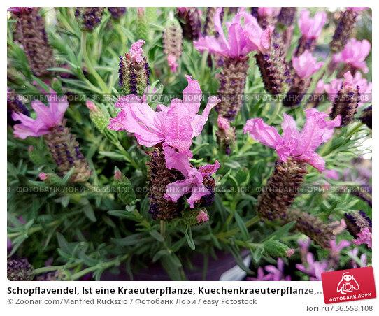 Schopflavendel, Ist eine Kraeuterpflanze, Kuechenkraeuterpflanze,... Стоковое фото, фотограф Zoonar.com/Manfred Ruckszio / easy Fotostock / Фотобанк Лори