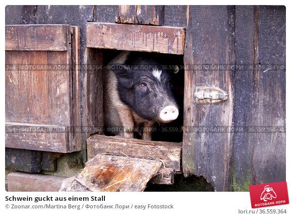 Schwein guckt aus einem Stall. Стоковое фото, фотограф Zoonar.com/Martina Berg / easy Fotostock / Фотобанк Лори