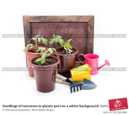 Купить «Seedlings of tomatoes in plastic pots on a white background. Cultivation of tomatoes», фото № 28324444, снято 26 января 2020 г. (c) Наталья Осипова / Фотобанк Лори