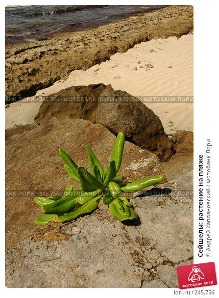 Купить «Сейшелы: растение на пляже», фото № 245756, снято 29 августа 2007 г. (c) Андрей Каплановский / Фотобанк Лори