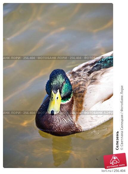 Купить «Селезень», фото № 256404, снято 10 апреля 2008 г. (c) Светлана Силецкая / Фотобанк Лори